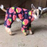 Bebe chevre en pyjama