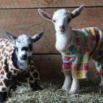 Chevre en pyjama